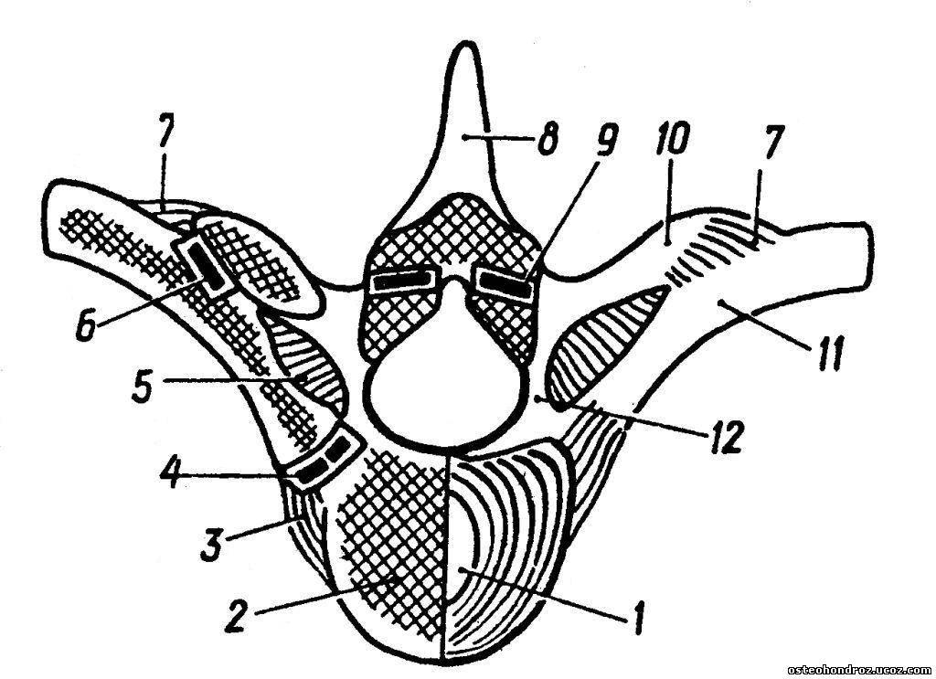 связки позвоночника и реберно-позвоночных суставов